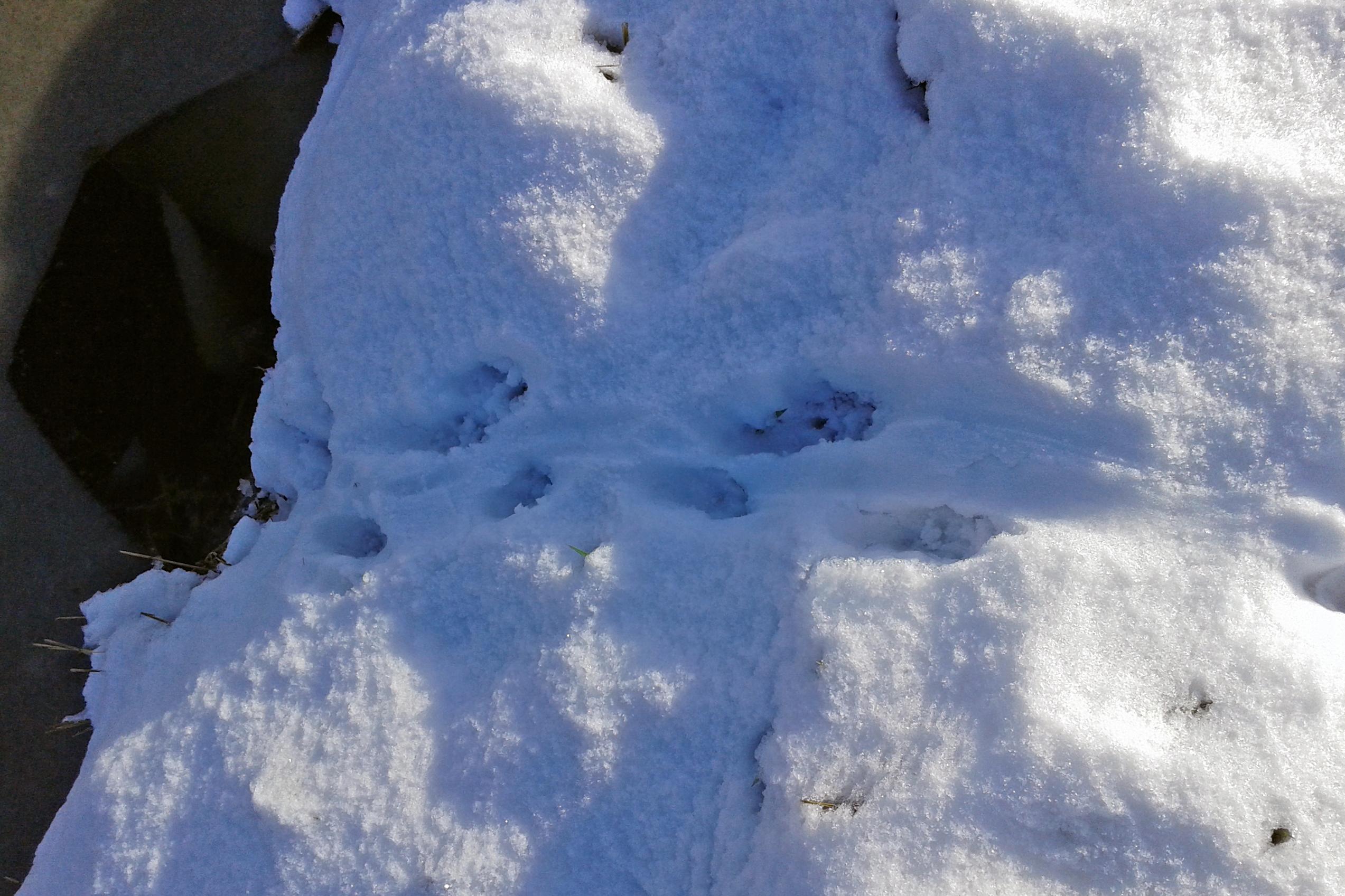 Ottersporen in de sneeuw